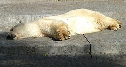 Winner-oso-polar-parabuenosaires