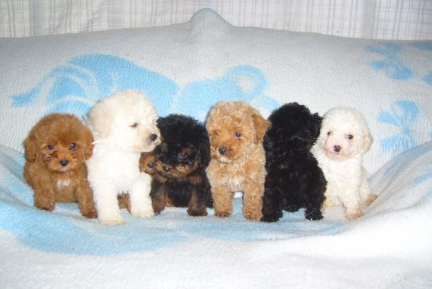 1273685137_93074110_1-cachorros-caniches-toy-varios-colores-acceso-pilar-12736851371