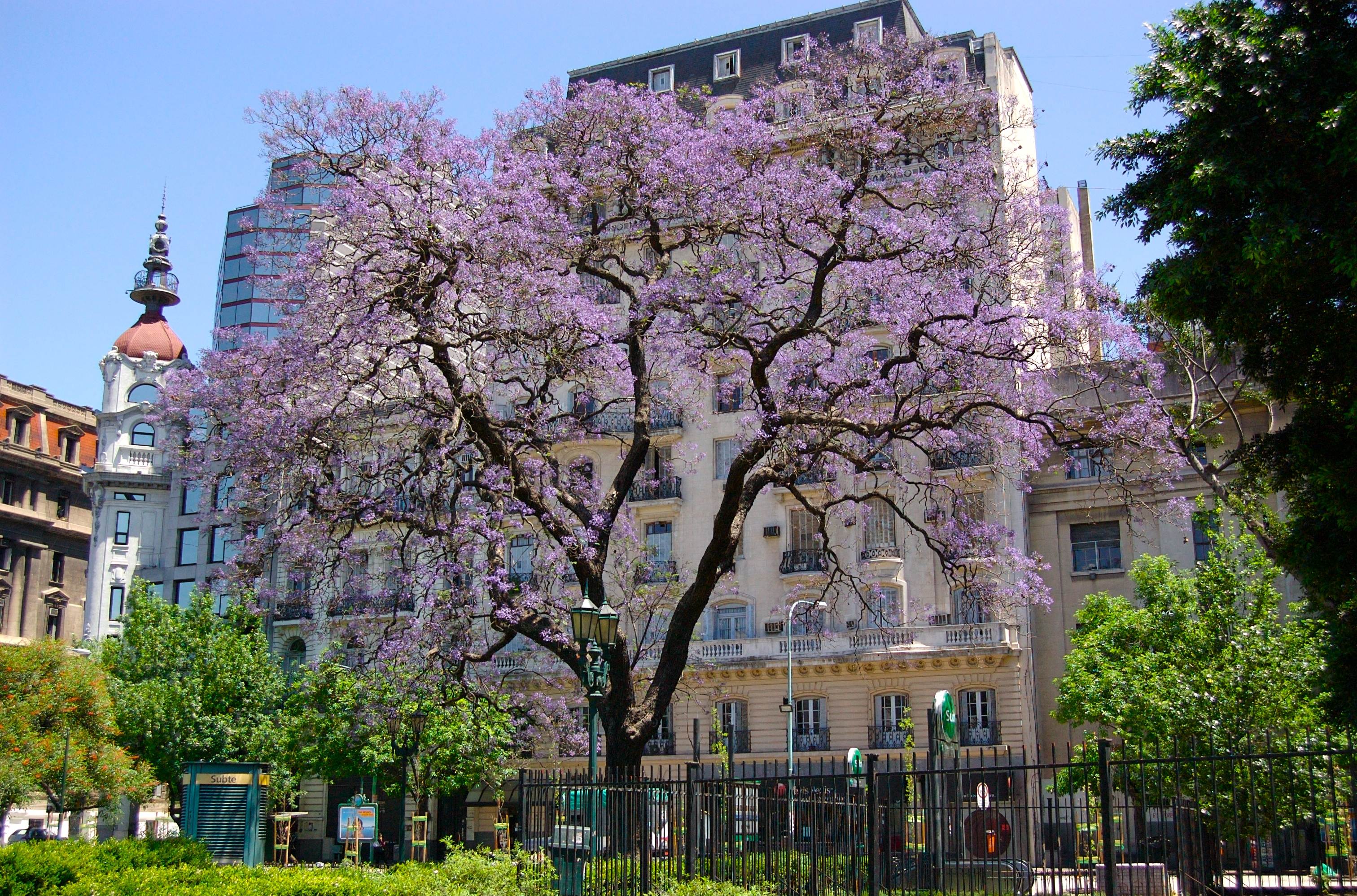 bs as jacaranda